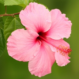Hibiscus Flower -every home has one