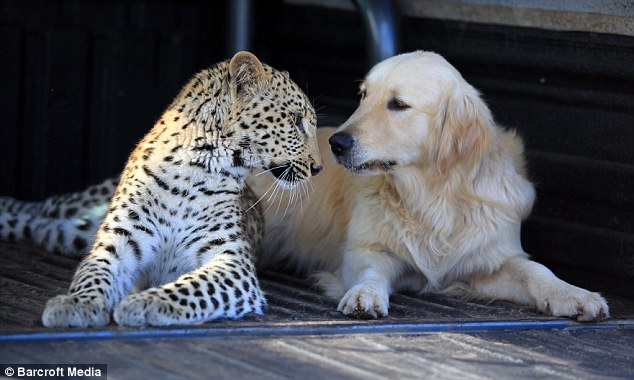 leopard-and-dog